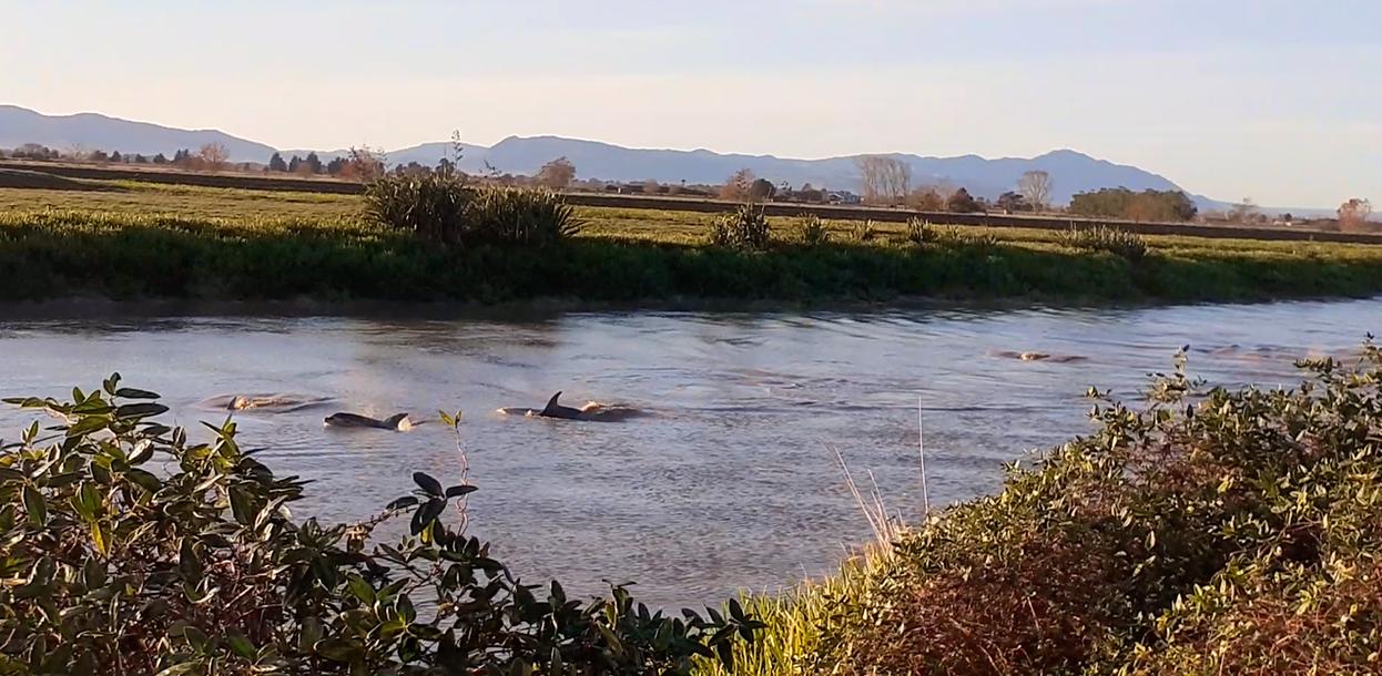 В новозеландской реке запечатлели на видео стаю из 60 дельфинов