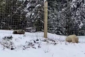В Канаде сняли на видео белого гризли