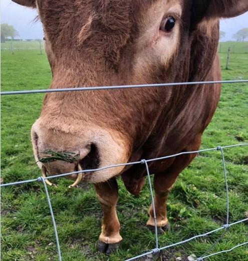 В Шотландии бык почесался,  оставив 800 домов без света