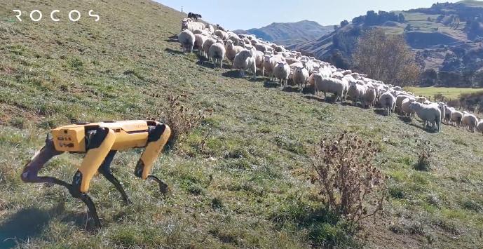Робот Spot пасет овец на горных склонах Новой Зеландии (видео)