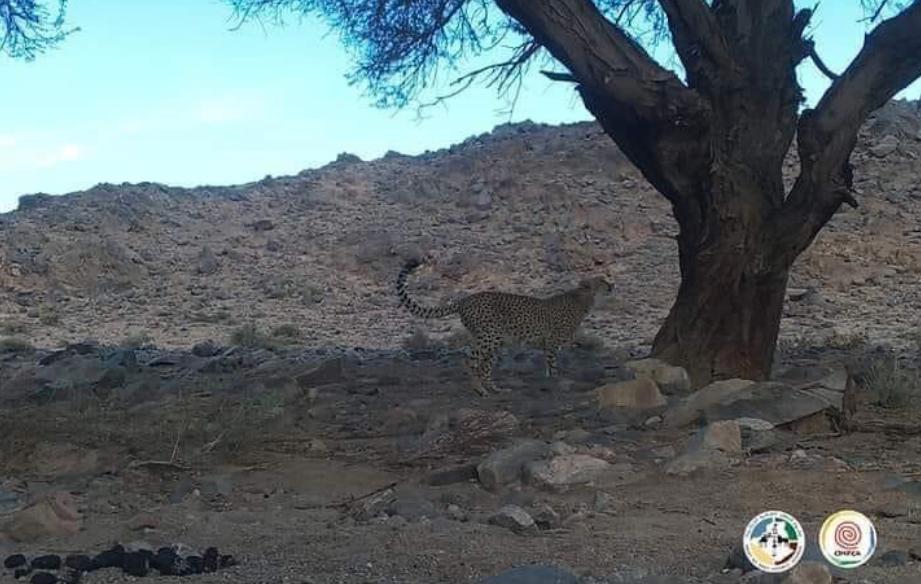 Редкого гепарда заметили в Алжире впервые за десятилетие