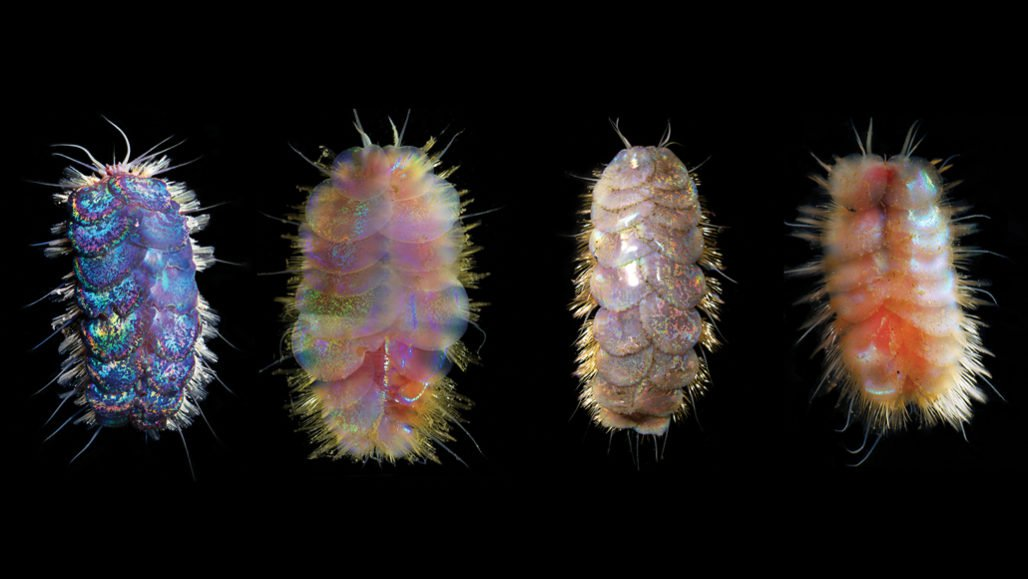 На дне Калифорнийского залива нашли червей-драчунов