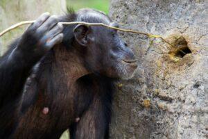 Шимпанзе оказались виртуозными охотниками на термитов