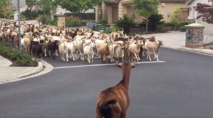 В Калифорнии 200 коз крушили заборы и опустошали клумбы