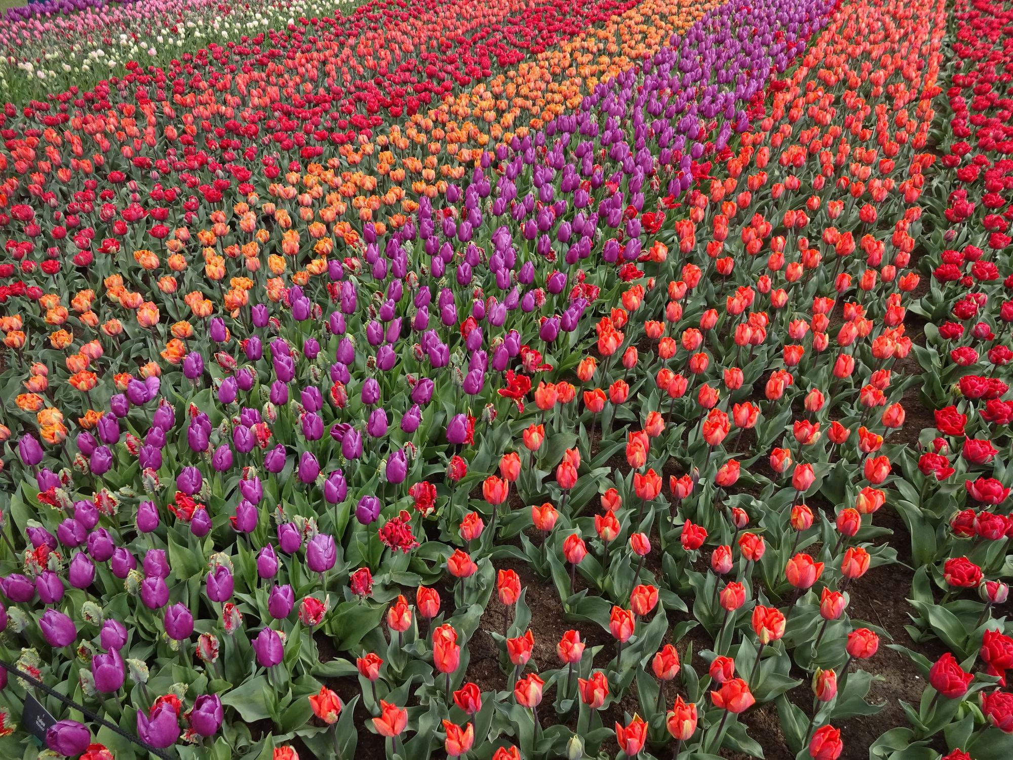 Все краски Кёкенхофа: рукотворное чудо Нидерландов