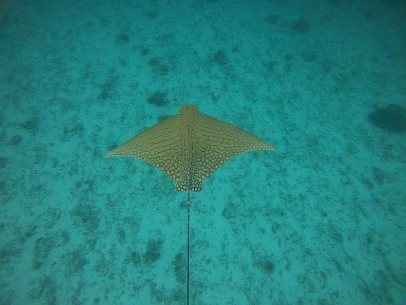 В районе Большого Барьерного рифа сняли на видео редкого ската