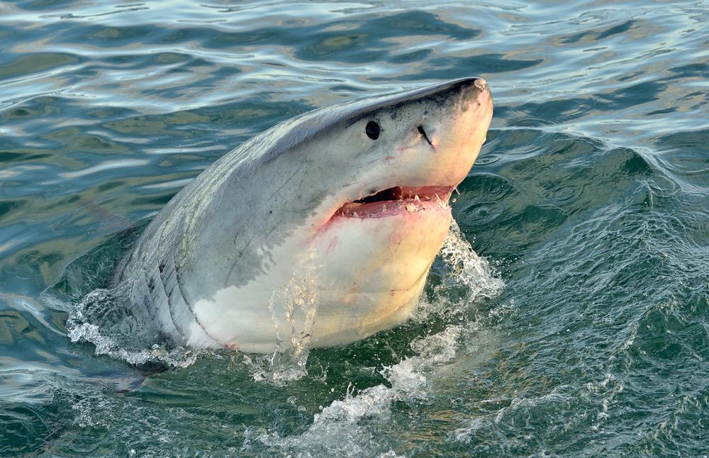 Палеонтологи нашли ясли белых акул, «работавшие»  миллионы лет.Вокруг Света. Украина