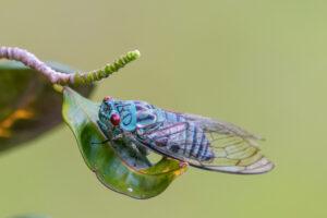 Соединенные Штаты готовятся к великому вторжению цикад