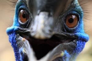 Почему у казуара глянцевые перья?