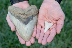 Американка нашла зуб мегалодона, прогуливаясь с собакой