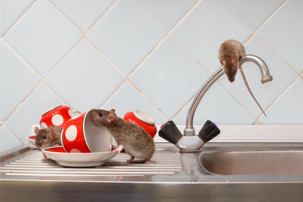 Археологи выяснили, когда появились домашние мыши