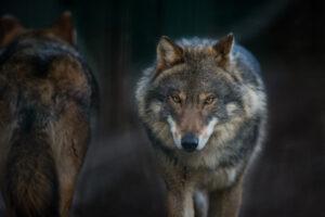 Волки понимают людей