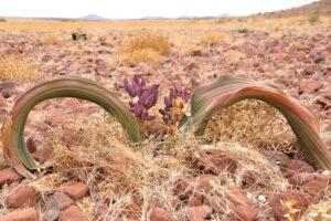 В Намибии вымирает реликтовая вельвичия, которая живет 1,5 тысячи лет
