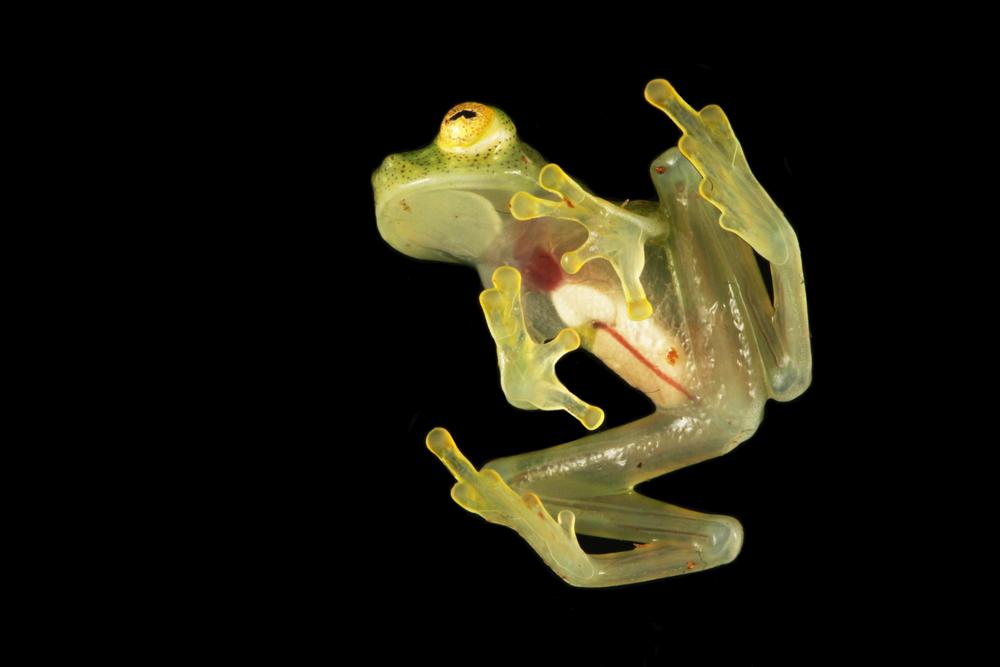 Почему у стеклянных лягушек прозрачная кожа