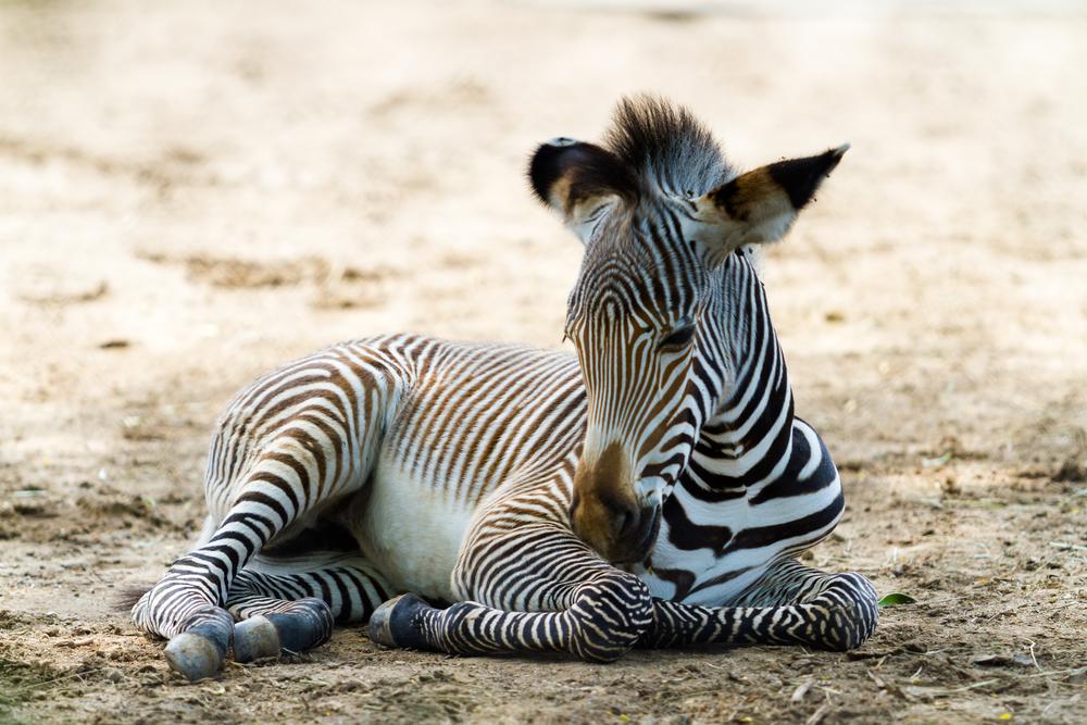 В латвийском зоопарке жеребенок зебры отравился конфетами