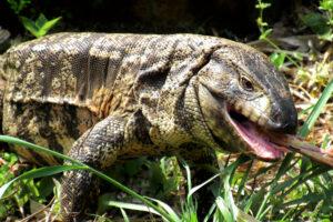 В США ящерица тегу третирует животных: от аллигаторов до черепах