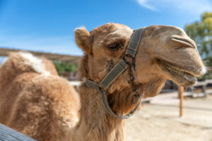 В Австралии караван из пяти верблюдов укатился по склону