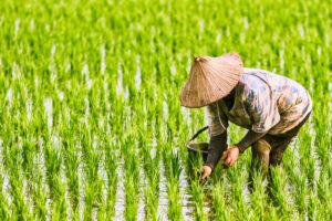 Рис стал популярен после  климатической катастрофы в древности