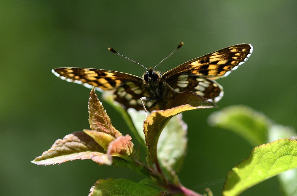 В Британии фонд дикой природы купил землю для бабочек