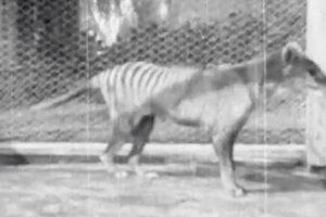 В Сеть выложили последние кадры с живым сумчатым волком