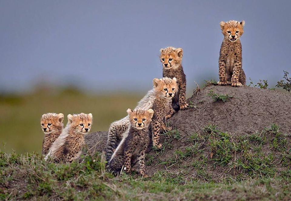 Лучшие фото гепардов: работы победителей конкурса Remembering Wildlife