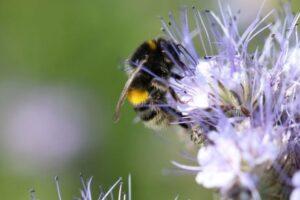 В Британии на фермах выращивают цветы специально для шмелей и пчел