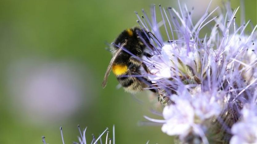 В Британии на фермах выращивают цветы специально для шмелей и пчел.Вокруг Света. Украина