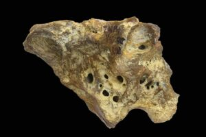 Палеонтологи реконструировали череп анкилозавра