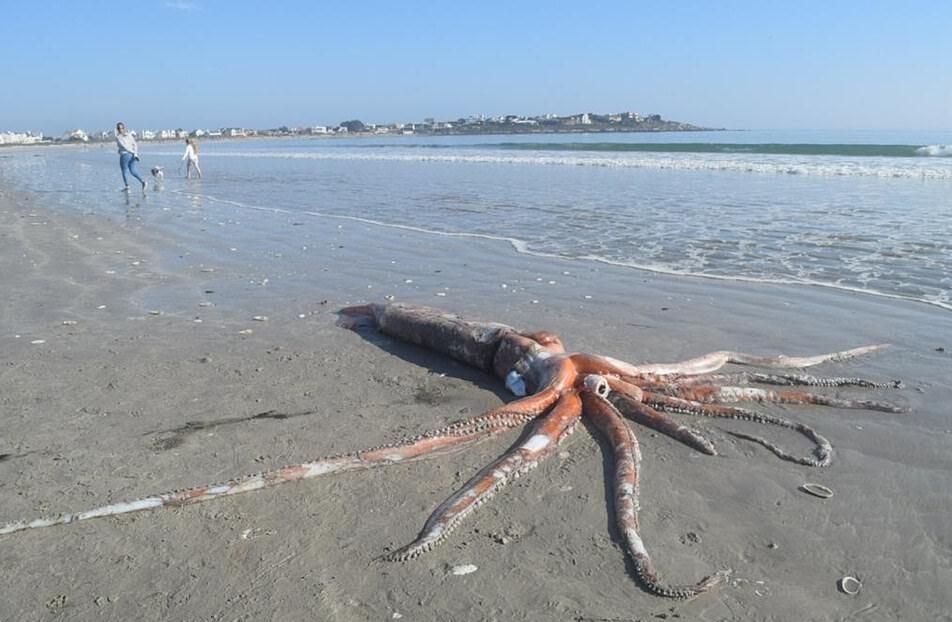 В ЮАР на берег вымыло гигантского 4-метрового кальмара (видео)