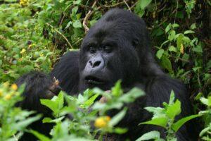 В заповеднике Уганды браконьеры убили редкую гориллу
