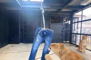 Японский зоопарк продает джинсы, порванные львами