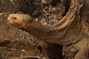 Черепаха, 55 лет спасавшая свой вид от вымирания, вернулась домой