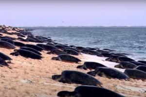 Тысячи черепах плывут к Большому Барьерному рифу: впечатляющее видео