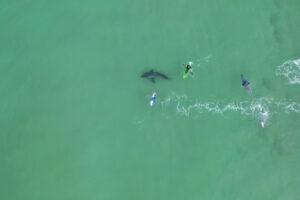 В Южной Африке белая акула подплыла вплотную к серферам (видео)