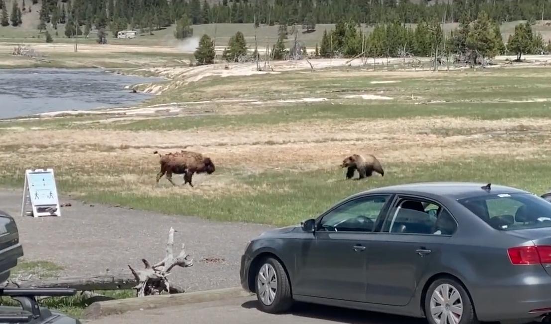 В Йеллоустонском парке сняли на видео сражение бизона и медведя