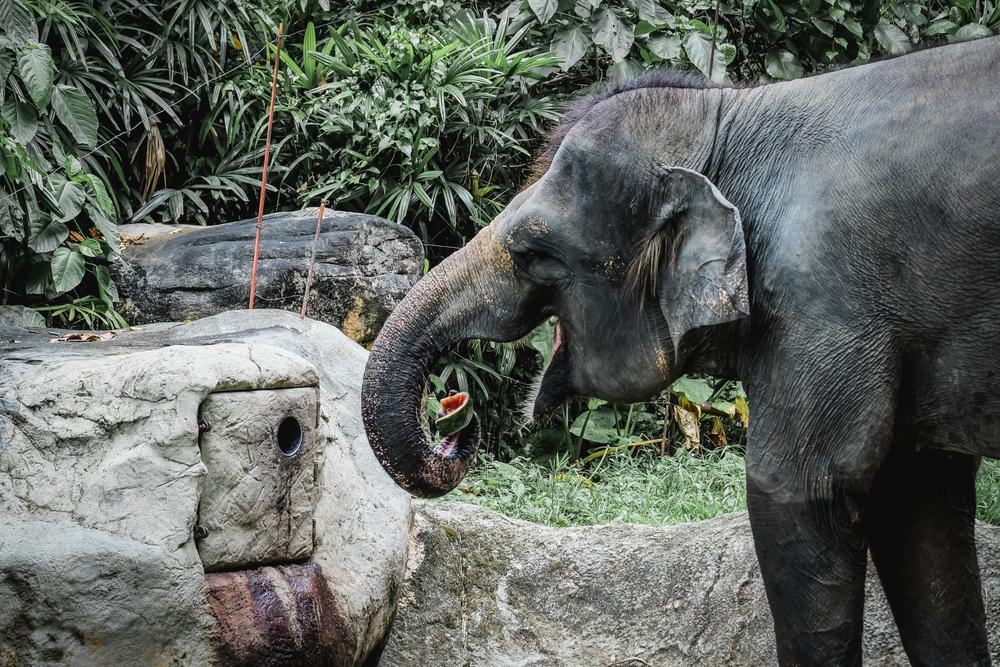 В Индии беременную слониху накормили петардами.Вокруг Света. Украина