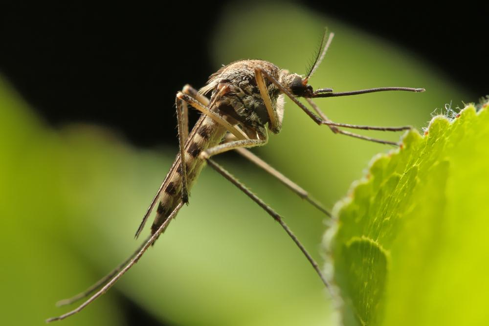 Почему комариные хоботки такие прочные