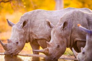 Почему популяция южных белых носорогов стремительно выросла?