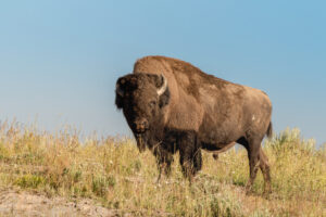 В Йеллоустоне бизон напал на туристку, которая его снимала