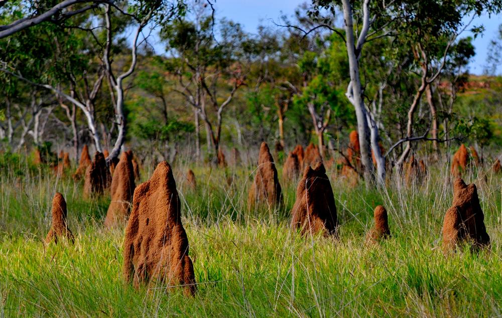 Термиты имени Дарвина, или Кто на самом деле ест мебель австралийцев