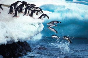 Пингвины Адели выигрывают от таяния льда