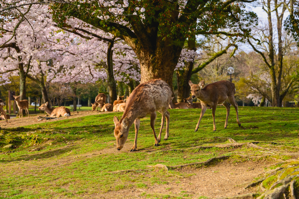 Здоровье японских оленей Нара улучшилось благодаря отсутствию туристов.Вокруг Света. Украина