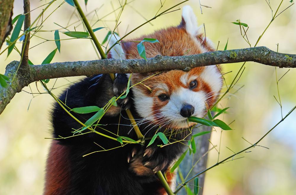 В Непале красных панд отслеживают с помощью GPS