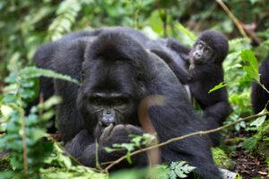 У самок горных горилл социальный статус зависит от возраста