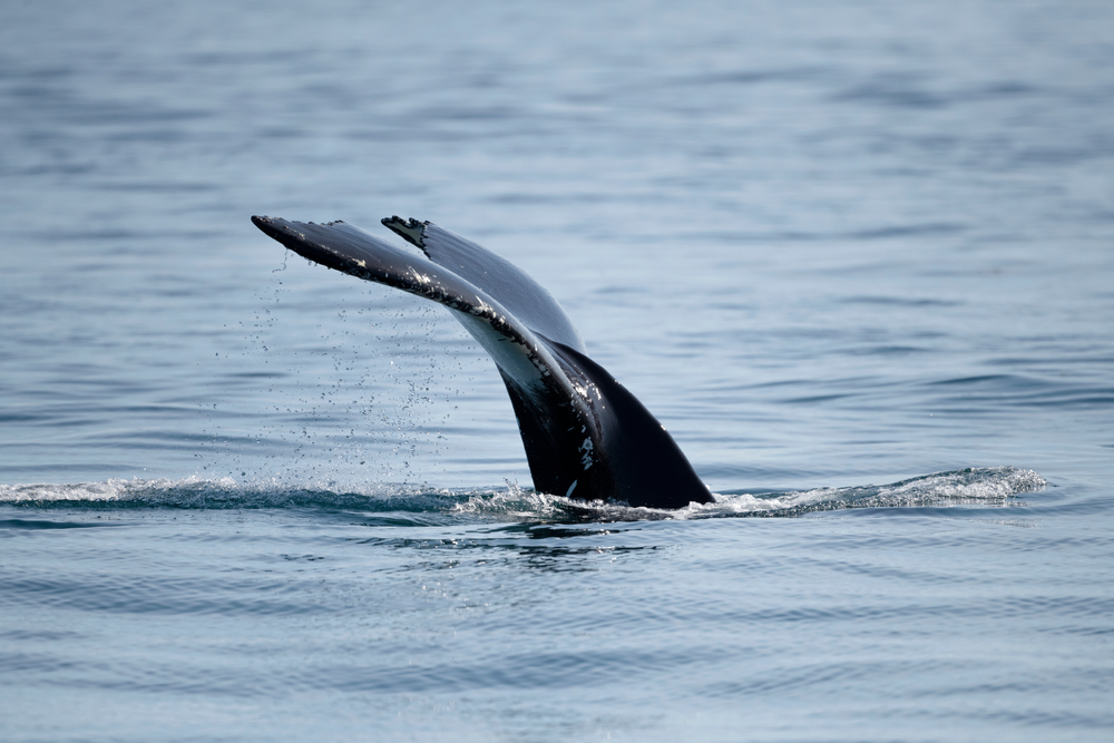 В канадский город заплыл горбатый кит (видео)