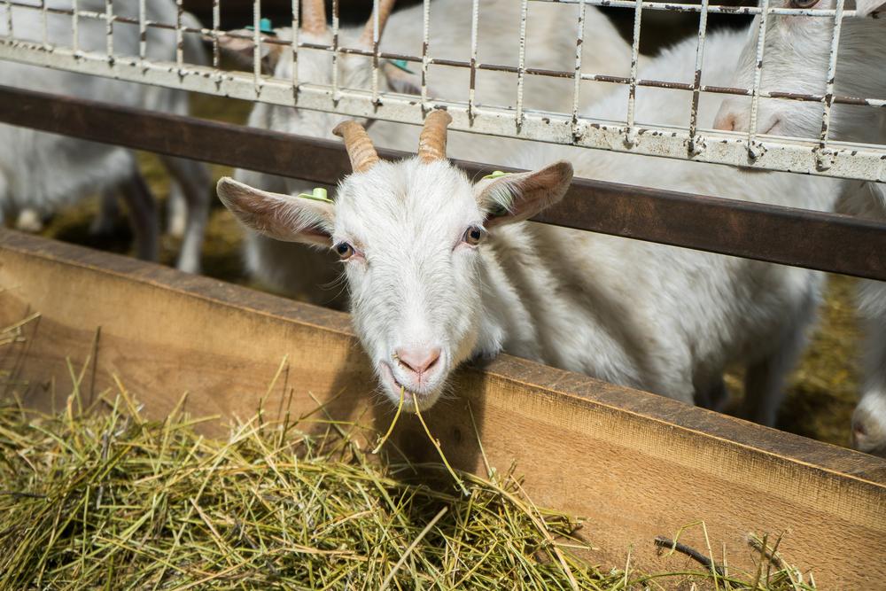 Из молока трансгенных коз в Новой Зеландии получают лекарство от рака
