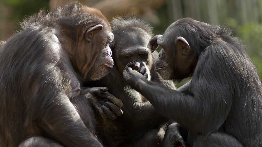 Люди понимают язык шимпанзе