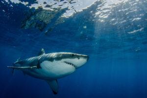 Чем на самом деле питаются большие белые акулы: новое исследование