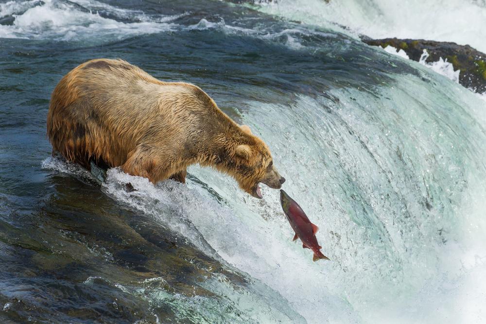 Бурые медведи ловят лосось на Аляске: прямая трансляция