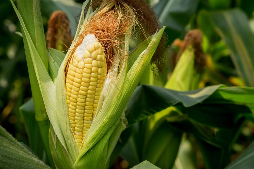 Люди тысячелетиями считали кукурузу не едой, а напитком